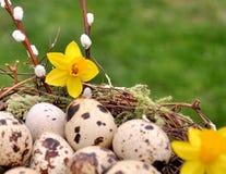 Αυγά ορτυκιών στη φωλιά που διακοσμείται με τα κίτρινα λουλούδια διάστημα αντιγράφων Στοκ Φωτογραφίες