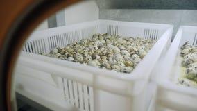Αυγά ορτυκιών στον επωαστήρα απόθεμα βίντεο