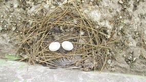 Αυγά περιστεριών και νεκρό περιστέρι μωρών στο άχυρο ness Στοκ Φωτογραφίες