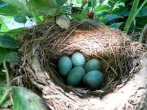Αυγά πουλιών στη φωλιά στοκ εικόνα