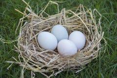 Αυγά που βάζουν στη φωλιά πουλιών στοκ φωτογραφίες