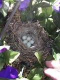 Αυγά πουλιών Στοκ Φωτογραφία