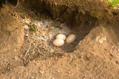 Αυγά πτηνών στο έδαφος. Στοκ φωτογραφία με δικαίωμα ελεύθερης χρήσης