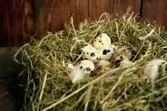 Αυγά στα αυγά ορτυκιών φωλιών Φωλιά σε ένα ξύλινο υπόβαθρο Στοκ Φωτογραφίες