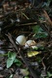 Αυγά στη φωλιά Στοκ φωτογραφία με δικαίωμα ελεύθερης χρήσης