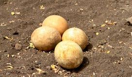 Αυγά στρουθοκαμήλων στοκ φωτογραφία με δικαίωμα ελεύθερης χρήσης