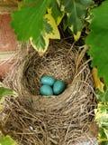 Αυγά της Robin στοκ φωτογραφίες