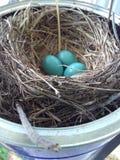 Αυγά της Robin στοκ εικόνες
