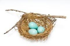 Αυγά της Robin Στοκ Εικόνα