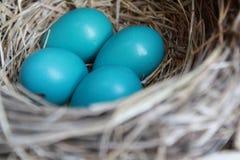 Αυγά της Robin Στοκ Φωτογραφία