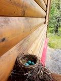 Αυγά της Robin Στοκ φωτογραφίες με δικαίωμα ελεύθερης χρήσης
