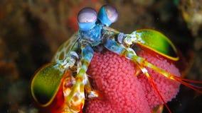Αυγά φυλής γαρίδων mantis Peacock απόθεμα βίντεο