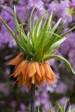Αυγή Imperialis Fritillaria, κοινή κορώνα ονόματος αυτοκρατορική Στοκ Εικόνες