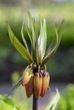 Αυγή Imperialis Fritillaria, κοινή κορώνα ονόματος αυτοκρατορική Στοκ εικόνες με δικαίωμα ελεύθερης χρήσης