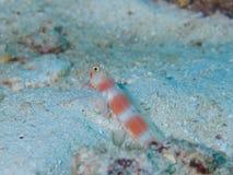 Αυγή Shrimpgoby Στοκ Φωτογραφίες