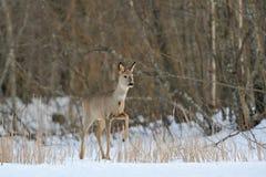 αυγοτάραχα ελαφιών wintertime Στοκ εικόνες με δικαίωμα ελεύθερης χρήσης