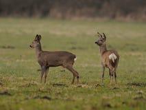 αυγοτάραχα deers στοκ εικόνες