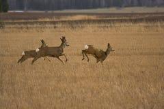 αυγοτάραχα deers Στοκ φωτογραφίες με δικαίωμα ελεύθερης χρήσης