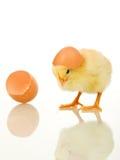 αυγό κοτόπουλου μωρών λί&ga Στοκ Εικόνες