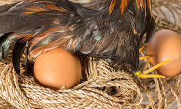 αυγό κοτόπουλου Στοκ Φωτογραφίες