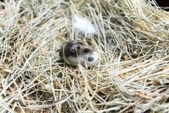 Αυγό ποντικιών και ορτυκιών Στοκ Εικόνες