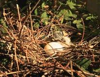 Αυγό πουλιών μωρών φωλιών Στοκ Εικόνα