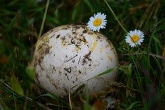 Αυγό στρουθοκαμήλων σε έναν τομέα λιβαδιών Στοκ Εικόνες