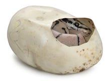 αυγό σφαιρών το python του βασ&io στοκ φωτογραφία με δικαίωμα ελεύθερης χρήσης