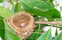 Αυγό του πουλιού σπουργιτιών στη φωλιά Στοκ Φωτογραφίες