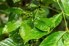 Αυθεντικό οργανικό arabica καφέ σε μια φυτεία καφέ του τροπικού νησιού του Μπαλί, Ινδονησία Στοκ Φωτογραφία