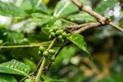 Αυθεντικό οργανικό arabica καφέ σε μια φυτεία καφέ του τροπικού νησιού του Μπαλί, Ινδονησία Στοκ εικόνες με δικαίωμα ελεύθερης χρήσης
