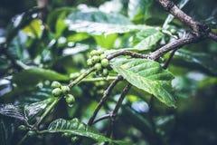 Αυθεντικό οργανικό arabica καφέ σε μια φυτεία καφέ του τροπικού νησιού του Μπαλί, Ινδονησία Στοκ Εικόνα