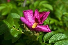 Αυξήθηκε, άγρια περιοχές, αυξήθηκε, λουλούδια, dogrose, rosehip, σκυλί Στοκ φωτογραφία με δικαίωμα ελεύθερης χρήσης