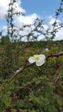 αυξήθηκε άγρια περιοχές Στοκ εικόνες με δικαίωμα ελεύθερης χρήσης