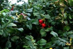 αυξήθηκε άγρια περιοχές Στοκ Εικόνες