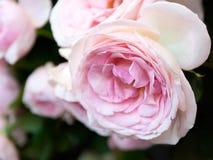 Αυξήθηκε άνθιση λουλουδιών Στοκ Εικόνες