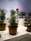 Αυξήθηκε έκθεση λουλουδιών στοκ φωτογραφία με δικαίωμα ελεύθερης χρήσης