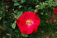 Αυξήθηκε, ένα όμορφο λουλούδι, λουλούδι σπιτιών και διακόσμηση κήπων Στοκ Φωτογραφία