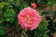 Αυξήθηκε, ένα όμορφο λουλούδι, λουλούδι σπιτιών και διακόσμηση κήπων Στοκ Εικόνα