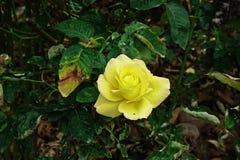 Αυξήθηκε, ένα όμορφο λουλούδι, λουλούδι σπιτιών και διακόσμηση κήπων Στοκ φωτογραφία με δικαίωμα ελεύθερης χρήσης