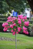 Αυξήθηκε δέντρο Στοκ εικόνες με δικαίωμα ελεύθερης χρήσης