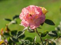Αυξήθηκε βαθμός λουλουδιών aquarell, μεγάλα λουλούδια των ιριδιζόντων ρόδινων και ροδάκινο-κίτρινων χρωμάτων Στοκ φωτογραφίες με δικαίωμα ελεύθερης χρήσης