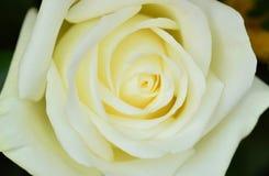 αυξήθηκε λευκό Η μακρο εικόνα του λευκού αυξήθηκε Στοκ εικόνα με δικαίωμα ελεύθερης χρήσης