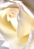 αυξήθηκε λευκό Στοκ Φωτογραφίες