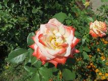 Αυξήθηκε κήπος λουλουδιών Στοκ Εικόνα