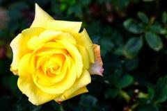 αυξήθηκε κίτρινος Στοκ φωτογραφία με δικαίωμα ελεύθερης χρήσης