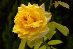 αυξήθηκε κίτρινος στοκ εικόνα με δικαίωμα ελεύθερης χρήσης