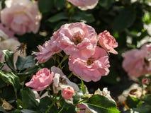 Αυξήθηκε καθηγητής βαθμού λουλουδιών sieber, μέσου μεγέθους λουλούδια του ανοικτό ροζ χρώματος, Στοκ Φωτογραφία