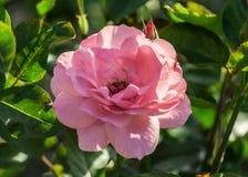 Αυξήθηκε καθηγητής βαθμού λουλουδιών sieber, μέσου μεγέθους λουλούδια του ανοικτό ροζ χρώματος Στοκ φωτογραφίες με δικαίωμα ελεύθερης χρήσης