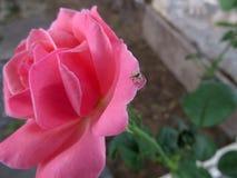 Αυξήθηκε και αράχνη Στοκ εικόνα με δικαίωμα ελεύθερης χρήσης